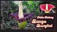 Fakta Bunga Bangkai