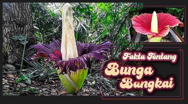 Fakta Fakta Bunga Bangkai Wajib Tahu Kutanam