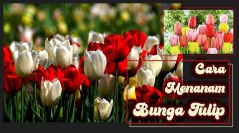 Cara menanam bunga tulip