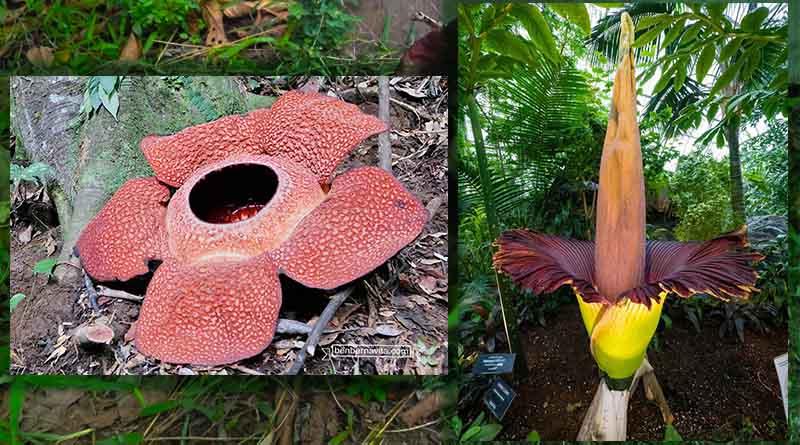 rafflesia arnoldi vs bunga bangkai