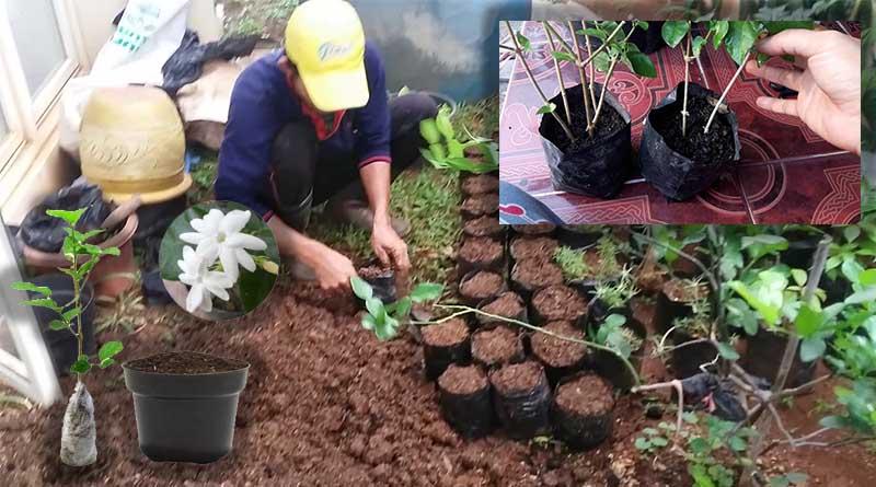 Metode Penyemaian Bibit pada Tanaman Bunga Melati