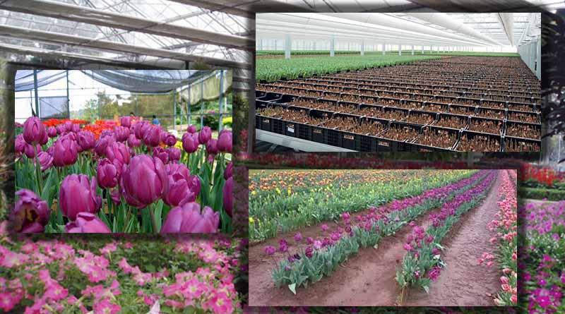Lokasi serta Persiapan Lahan Tanaman Bunga Tulip