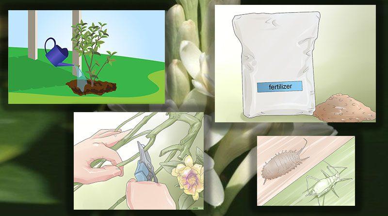 Perawatan dan Perlindungan Tanaman Bunga Melati