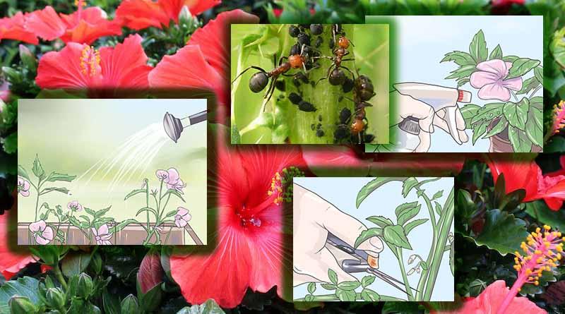 rawat dan lindungi bunga sepatu
