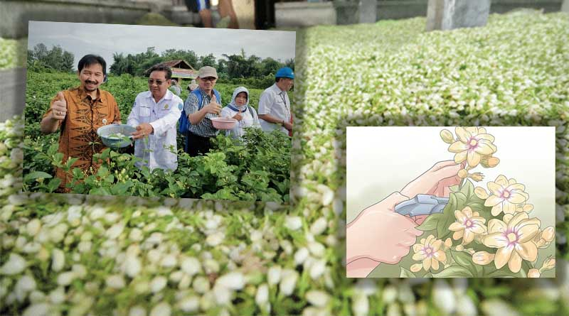Proses Pemanenan Tanaman Bunga Melati