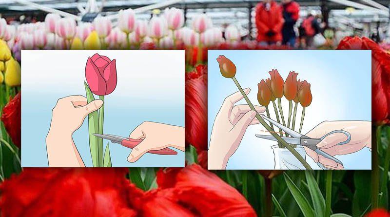 Pemanenan Tanaman Bunga Tulip