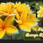 Cara Menanam Bunga Kamboja Yang Benar!