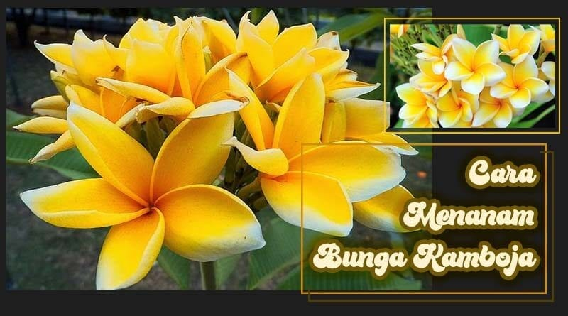 Cara Menanam Bunga Kamboja Yang Benar Kutanam
