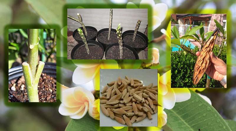 Cara Menanam Bunga Kamboja 2