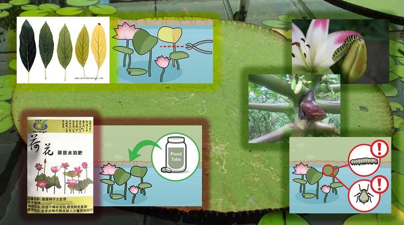 perawatan bunga teratai