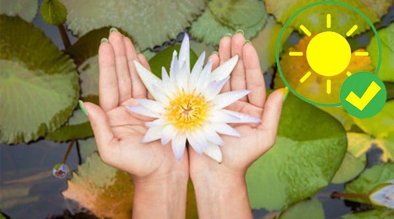 bunga teratai di tangan