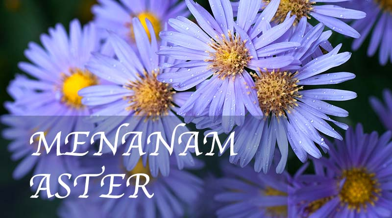 Cara menanam bunga aster