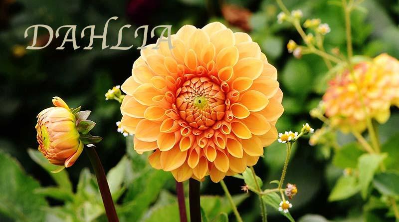 Cara menanam bunga dahlia