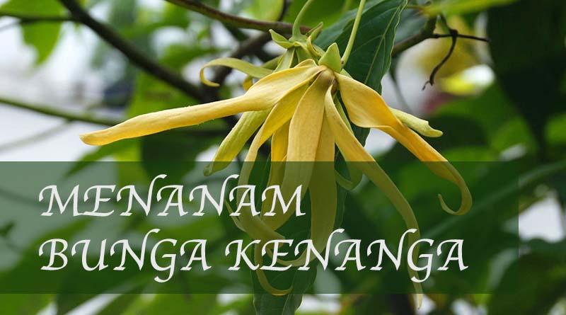 Cara menanam bunga kenanga