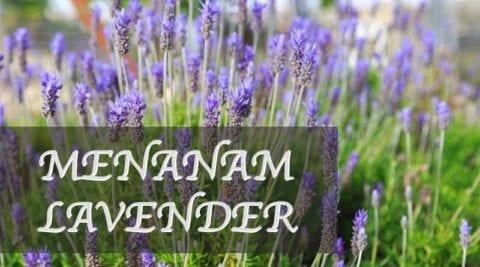 Cara menanam lavender