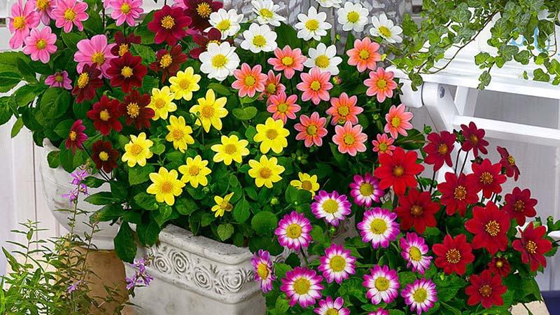 Ketahui Jenis Bunga Dahlia Yang Sering Ditanam