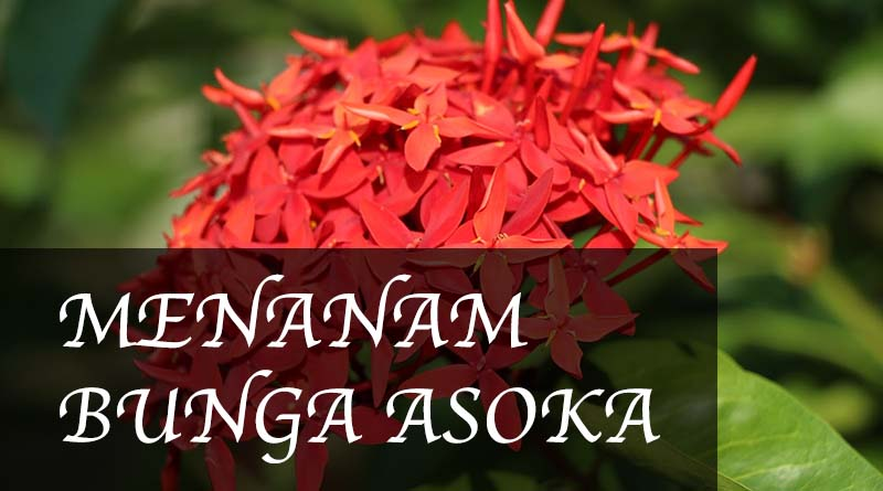 Cara Menanam Bunga Asoka Panduan Lengkap Kutanam