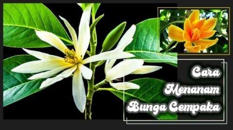 cara menanam bunga cempaka