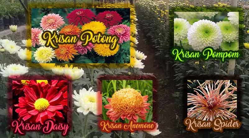 jenis jenis bunga krisan