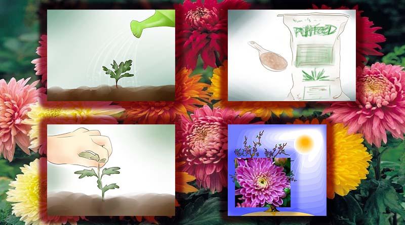 rawat tanaman bunga krisan