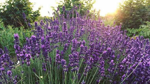 lavender 6