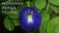 Cara menanam bunga telang