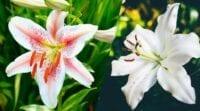 menanam bunga bakung