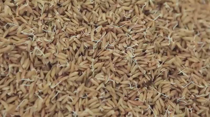 pembibitan padi
