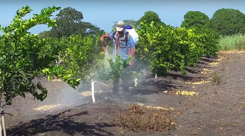rawat tanaman jeruk nipis