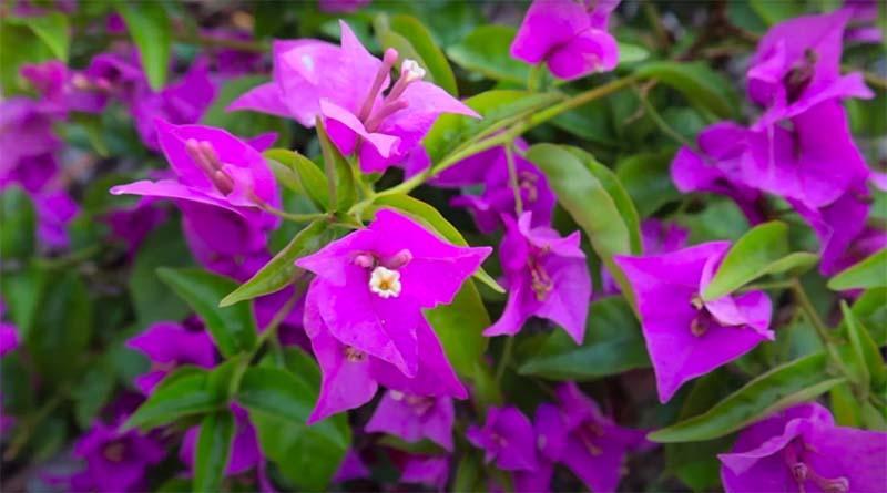 Cara Menanam Bunga Bugenfil - Kutanam