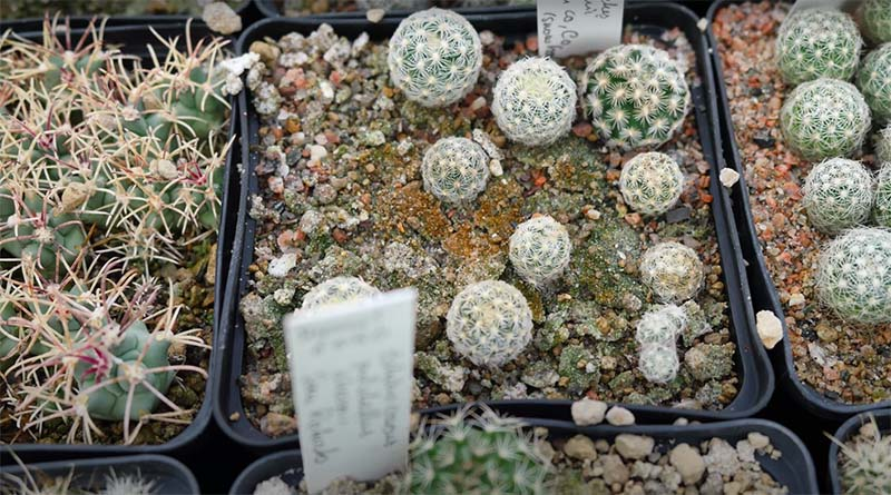 rawat kaktus