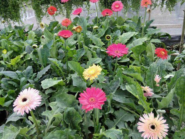 Syarat Tumbuh Bunga Gerbera