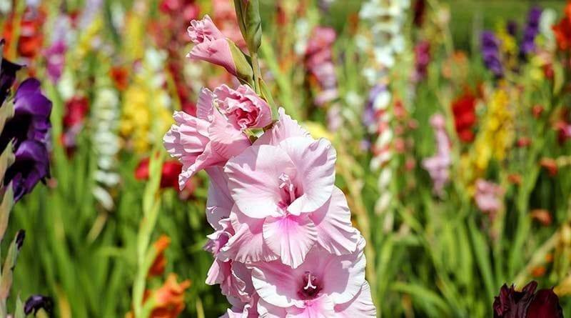 cara menanam bunga gladiol
