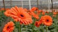 bunga gerbera