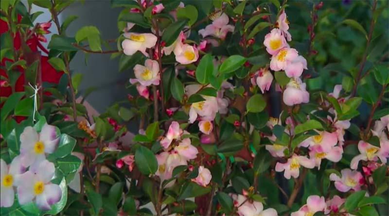 tanaman camellia
