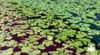beragam tanaman air