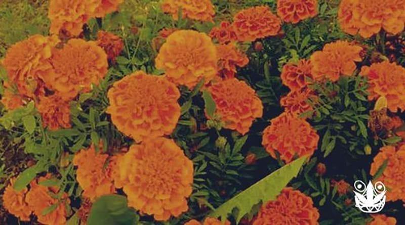 cara menanam marigold