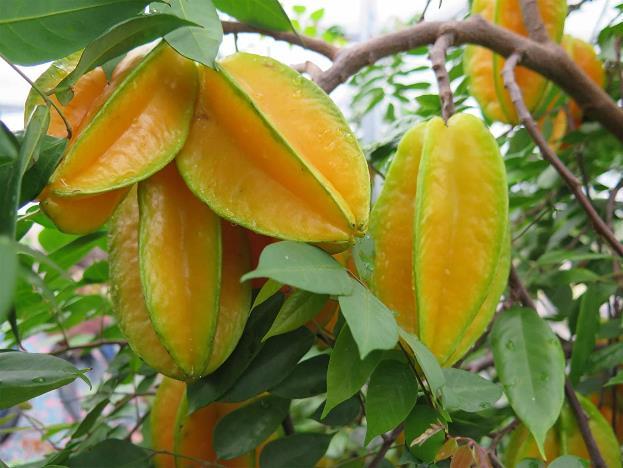 Daun Averrhoa carambola / daun belimbing