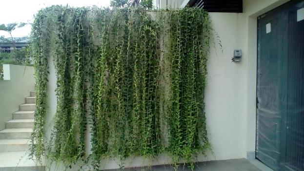 Tanaman Lee Kwan Yew / Vernonia elliptica