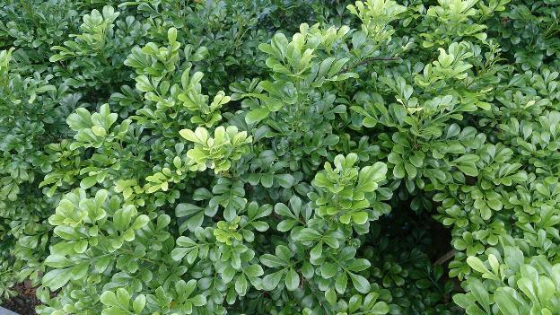 Daun Aglaiae ordorota / daun pacar cina