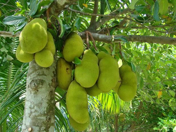 Daun Arthocarpus heterophyllis / daun nangka