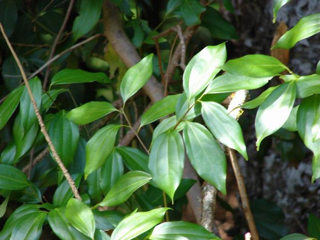 Batang Cinnamomum burmanii / kayu manis
