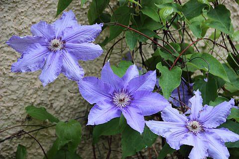 Bunga Clematis