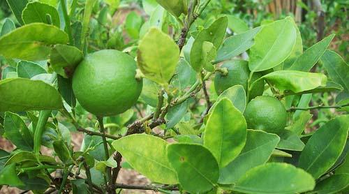 Batang Citrus aurantifolia / jeruk nipis