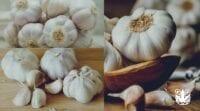 Cara Menanam Bawang Putih Hidroponik