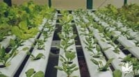 cara menanam bayam hidroponik
