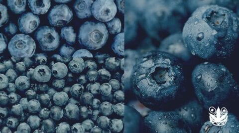 cara menanam blueberry hidroponik