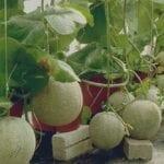 cara menanam melon hidroponik