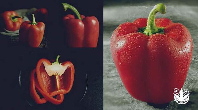 cara menanam paprika hidroponik