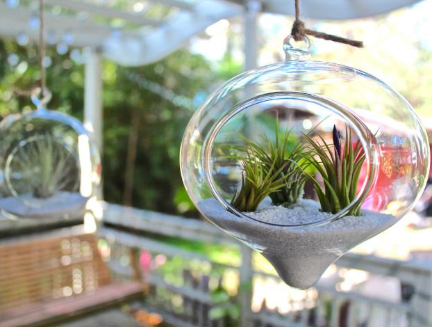 Air Plant (Tillandsia sp.)